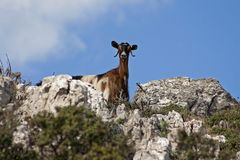 Goat in the wild royalty free stock image