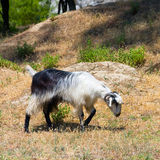 Goat in the wildness valley Stock Photos