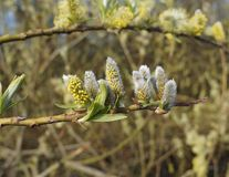 Goat Willow branch in spring Royalty Free Stock Images