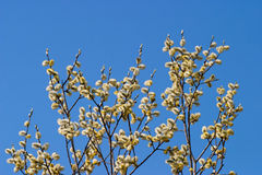 Goat Willow catkin Stock Photos
