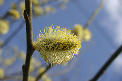 Goat willow catkins. Goat willow, also known as pussy willow, Salix caprea pollen producing male catkins growing horizontally from a branch with blue sky and Royalty Free Stock Image