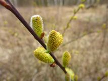 Goat willow male catkins in spring Stock Photos