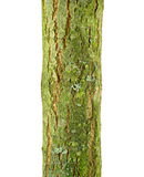 Goat willow (Salix caprea) bark. Isolated on a white background Royalty Free Stock Image