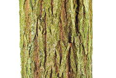 Goat willow (Salix caprea) bark. Isolated on a white background Royalty Free Stock Photography