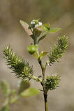 Goat Willow - Salix caprea Royalty Free Stock Photo