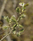 Goat Willow - Salix caprea Stock Image