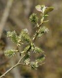 Goat Willow - Salix caprea.  Stock Image