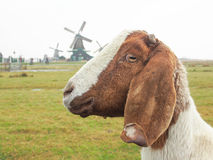 Goat and Windmills. A goat in the field and  many windmills at Zaanse Schans , near Amsterdam , Nethrerlands Royalty Free Stock Image