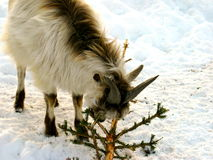 Goat in winter royalty free stock photo