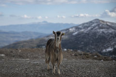 Goat during winter Stock Image