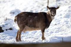 Goat in winter on pasture look at camera portrait Royalty Free Stock Image