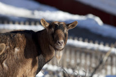Goat in winter on pasture look at camera portrait Stock Photos