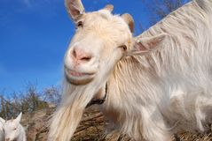 Goat wondering Stock Photo
