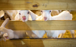 Goat in wood farm. White Goat and straw are tongue Stock Photo