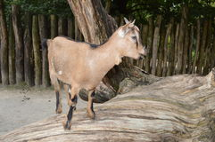 Goat on wood Royalty Free Stock Photography