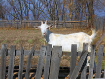 Goat for a wooden fence. The goat for a wooden fence royalty free stock photography