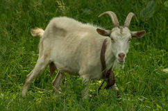 Goat in the yard Stock Photography
