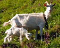 She-goat with yeanling. A nanny goat with her yeanling standing on green grass stock images