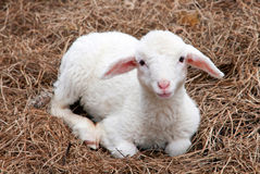 Goat. Young goat lies on straw in Slovenia stock image