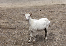 Goat. Young goat on white background gray stones Royalty Free Stock Photos