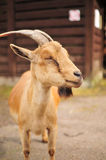 Goat in zoo Royalty Free Stock Photo