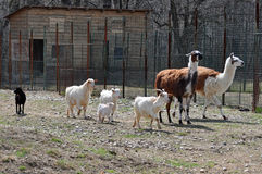 Goat Zoo. Group of goats at Bucharest Zoo in Romania Royalty Free Stock Photo
