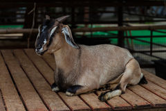 Goat in a zoo Stock Photography
