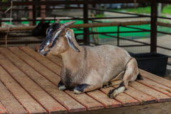 Goat in a zoo Royalty Free Stock Images
