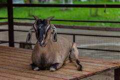 Goat in a zoo Stock Images