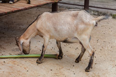 Goat in a zoo Royalty Free Stock Photos