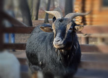 Goat at the zoo. Black goat stands and looks in the pen of a zoo Stock Photos
