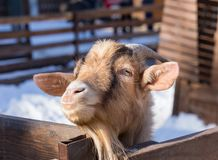 A goat at the zoo. Close up.  Royalty Free Stock Images