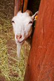 Goat in zoo. In Europe Stock Images