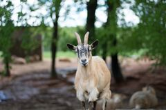 Goat in the zoo with long neck looking down. Goat is looking down with white background Royalty Free Stock Images