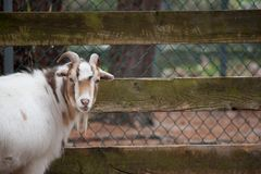 Goat at Zoo. A goat looks at the camera at a zoo Royalty Free Stock Photo