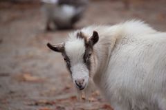 Goat at Zoo. A goat looks at the camera at a zoo Stock Images