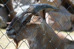The goat in the zoo is near the metal fence. The goat in the zoo is near the grid. Photo taken in August 2016, Tashkent Zoo, Uzbekistan Stock Photo