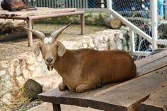 Goat in zoo Thailand. Agriculture animal animal head captivity domestic animal, domestic goat, farm, goat mammal pet pygmy goat, zoo Stock Photography