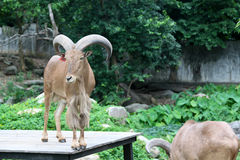 Goat in zoo Thailand Stock Photo