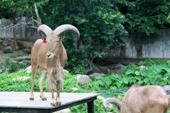 Goat in zoo Thailand. Goat, animal zoo agriculture head captivity domestic animal, domestic goat, farm, goat mammal pet pygmy Stock Photo