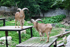 Goat in zoo Thailand. Goat, animal zoo agriculture head captivity domestic animal, domestic goat, farm, goat mammal pet pygmy Royalty Free Stock Photography