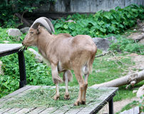 Goat in zoo Thailand. Goat, animal zoo agriculture head captivity domestic animal, domestic goat, farm, goat mammal pet pygmy Stock Photos