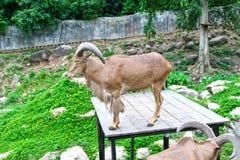 Goat in zoo Thailand. Goat, animal zoo agriculture head captivity domestic animal, domestic goat, farm, goat mammal pet pygmy Royalty Free Stock Photos