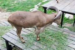 Goat in zoo Thailand. Goat, animal zoo agriculture head captivity domestic animal, domestic goat, farm, goat mammal pet pygmy Stock Photography