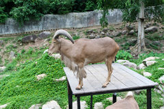 Goat in zoo Thailand. The beautiful brown Stock Images
