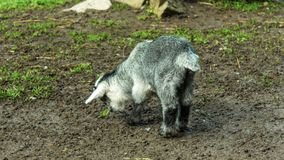 Goat in a zoo in Wolfurt, Vorarlber, Austria Stock Photography