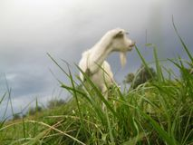 Goat dawn on the grass. Goat Zorka at work stands at the grass and prepares you milk stock image