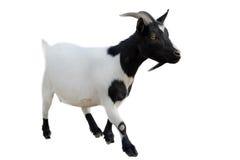 Goatee Στοκ Φωτογραφία