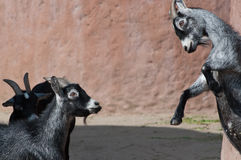 Goatfight. Goats fighting in the local zoo Royalty Free Stock Images