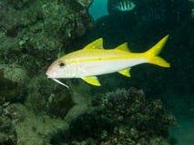 Goatfish желтопёр Стоковые Фото